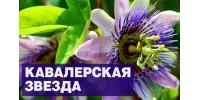 Пассифлора - кавалерская звезда